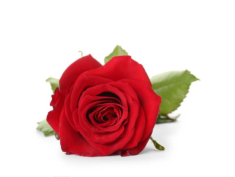 single red funeral flower